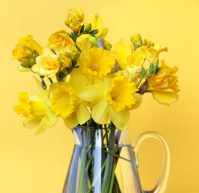 Fresie gialle in vaso