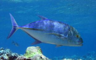 Ricciola - pesce prelibato